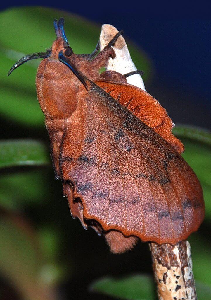 G.quercifolia_7985