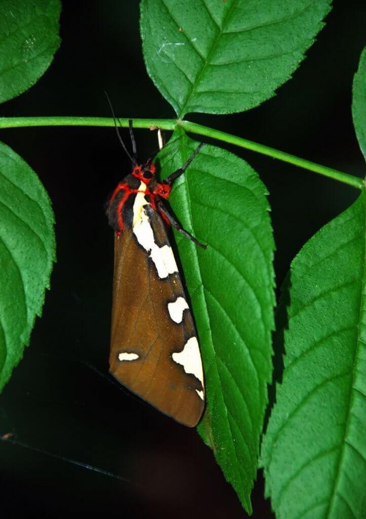 P.matronula21.05.180001